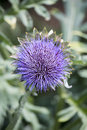 Purple flower of a globe artichoke plant in portrait orientation Royalty Free Stock Photo
