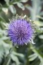 Purple flower of a globe artichoke plant in portrait orientation Royalty Free Stock Photo