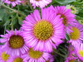 Purple flower a group of brightly coloured pink and yellow flowers Royalty Free Stock Photography