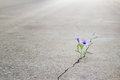 Purple flower growing on crack street, soft focus Royalty Free Stock Photo