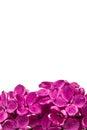 Purple flower lilac, Syringa vulgaris, isolated on white background Royalty Free Stock Photo