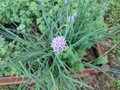 Purple flower on onion plant in herb garden Royalty Free Stock Photo