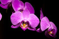 Purple flower orchidea Royalty Free Stock Photo
