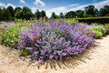 Purple flower perennial plant garden plants a or simply is a that lives for more than two years the term is often used to Stock Photos