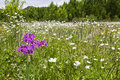 Purple flower in sea of white flowers wildflowers cover the landscape with a bright front Royalty Free Stock Photo