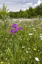 Purple flower in sea of white flowers wildflowers cover the landscape with a bright front Royalty Free Stock Images