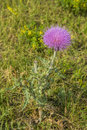 Purple flower on thistle plant Royalty Free Stock Photo