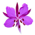 Purple flower on a white background close up isolated Stock Photos
