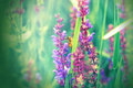 Purple flower wild flower in meadow focus bee is out of focus Stock Photography