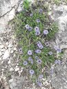purple flower, wild, stone, herb Royalty Free Stock Photo