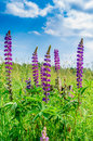 Purple flower Willow-herb with blue sky on a background Royalty Free Stock Photo