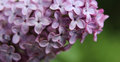 Purple flowering lilac Royalty Free Stock Photo