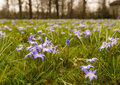Purple flowering scilla plants growing between grass or squill at the edge of a village in a small field with and weeds Royalty Free Stock Image