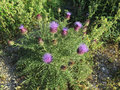 Purple flowering thistle Royalty Free Stock Photo