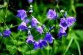 Purple Flowers In The Alps