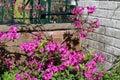 Purple azalea in bloom in spring Royalty Free Stock Photo
