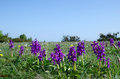 Purple flowers at blue sky group of early orchids and a cloudless the island oland in sweden Royalty Free Stock Photography