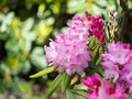 Purple flowers and buds of rhododendron Royalty Free Stock Photo