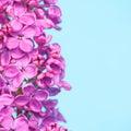 Purple flowers close up on blue background beautiful Royalty Free Stock Photo