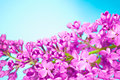 Purple flowers close up on blue background beautiful Royalty Free Stock Images