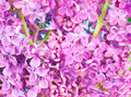 Purple flowers close up on blue background beautiful Stock Images