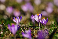 Purple flowers crocuses on meadow in nature, beautiful spring flowers Royalty Free Stock Photo