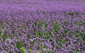 Purple flowers image of a field of in utah Royalty Free Stock Image