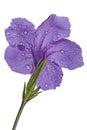 Purple Flowers Isolated On Whi...