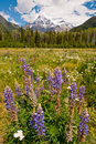 Purple flowers and majestic snowy mountain Royalty Free Stock Photos