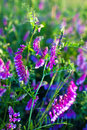 Purple flowers in the meadow vetch vicia sunny Royalty Free Stock Photo