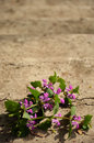 Purple flowers on old steps the of the sand colored Royalty Free Stock Photo