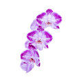 Purple flowers orchids on white Royalty Free Stock Photo