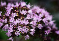 Purple flowers of oregano Royalty Free Stock Photo
