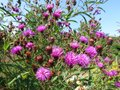 Purple Flowers and Sky During August Royalty Free Stock Photo