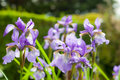 Purple flowers in sunshine with water droplets Royalty Free Stock Photo