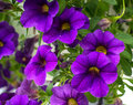 Purple flowers and vibrant a green leaves in a hanging basket Royalty Free Stock Image