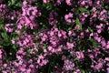 Purple flowers of woodland forget-me-not Myosotis Sylvatica