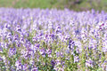 the purple forget me not flower field on sunny beautiful day