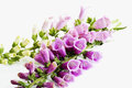 Purple foxglove, digitalis purpurea Royalty Free Stock Photo