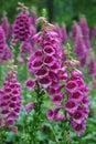 Purple Foxglove flowers Royalty Free Stock Photo