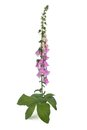 Purple foxglove with flowers isolated on white Royalty Free Stock Photo