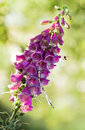 Purple foxglove with insects or digitalis purpurea flowers in eveningsun light bumble bees and damselfly Royalty Free Stock Images