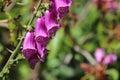 Purple Foxglove on Stem Royalty Free Stock Photo