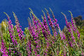 Purple foxgloves digitalis purpurea growing in the wild westland new zealand Stock Photography