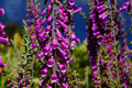 Purple foxgloves digitalis purpurea growing in the wild westland new zealand Royalty Free Stock Image