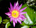 Purple fresh lotus with yellow pollen and a bee inside in the pond outdoor Stock Photography