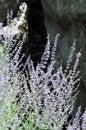 Purple fringe Royalty Free Stock Photo