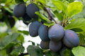 Purple fruits of a Stanley prune plum in orchard Royalty Free Stock Photo