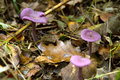 Purple fungi Stock Photography