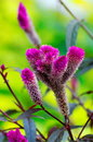 Purple furry flower Stock Photography